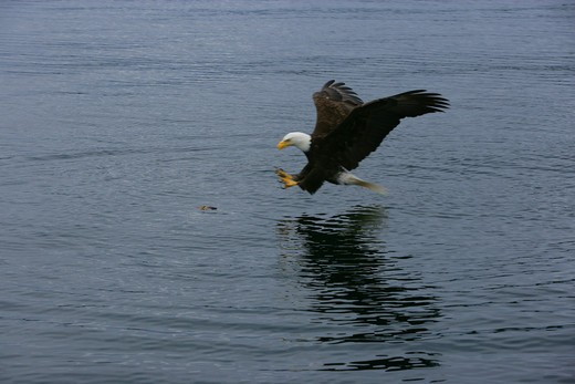 Bald Eagle catching fish : Stock Photo