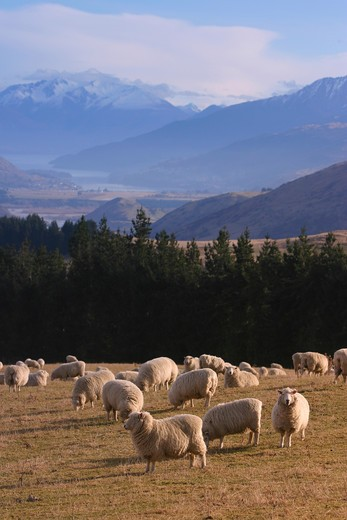 Stock Photo: 4286-50966 Sheep farm, Queenstown area, South Island, New Zealand