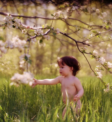 Stock Photo: 4286-53023 Brown-haired, naked toddler walking outside picking flowers off a blossoming tree.