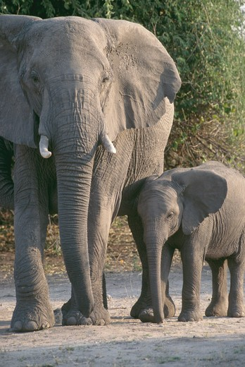 Stock Photo: 4286-53286 Female, African elephant and her calf walking next to each other at Chobe National Park, Botswana, Africa, Loxodonya africana.