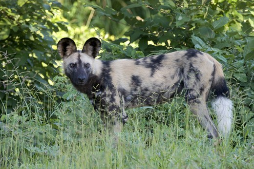 STANDING WILD DOG (CAPE HUNTING DOG) : Stock Photo
