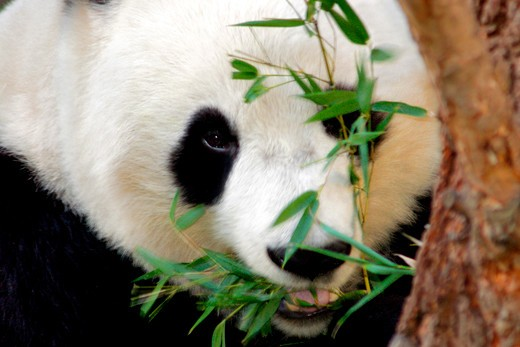 Stock Photo: 4286-53797 GIANT PANDA EATING BAMBOO