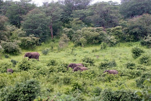ELEPHANT HERD ON HILLSIDE  : Stock Photo