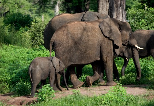 Stock Photo: 4286-53945 MOTHER AND YOUNG ELEPHANTS