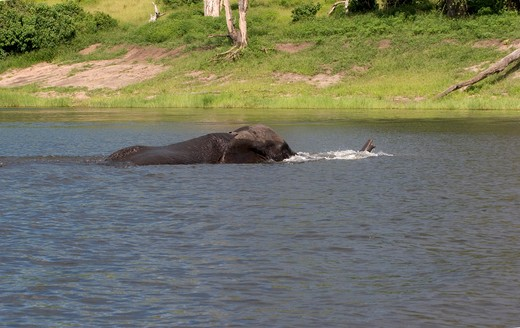 ELEPHANT WADING CHOBE RIVER  : Stock Photo