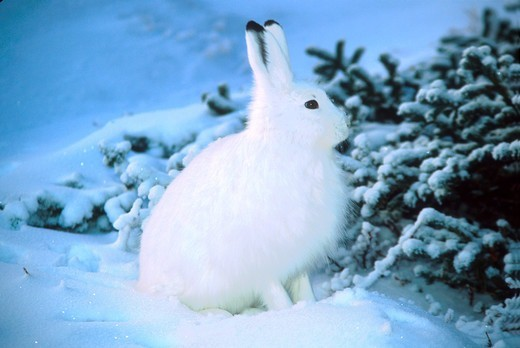 Stock Photo: 4286-53987 ARCTIC HARE NEAR TREE #2