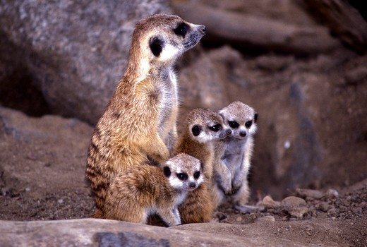 Stock Photo: 4286-54039 MEERKAT AND YOUNG