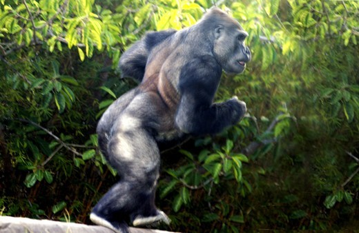 POWERFUL MALE LOWLAND GORILLA : Stock Photo