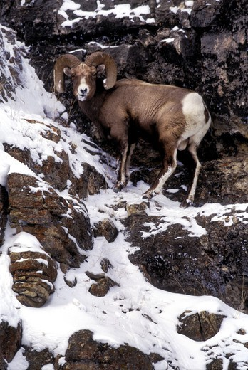 Stock Photo: 4286-54281 ROCKY MT'N. BIGHORN ON SNOWY CLIFF