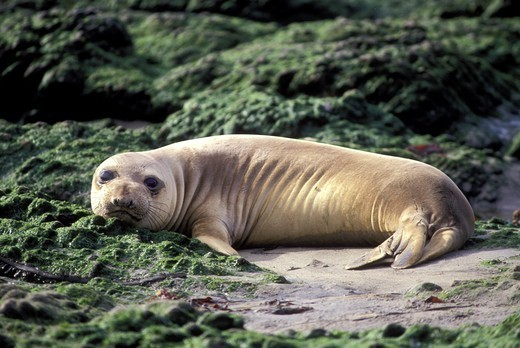 Stock Photo: 4286-54339 SUNNING ELEPHANT SEAL PUP