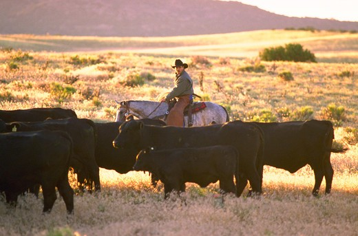 Stock Photo: 4286-54458 Cowboy on horseback driving a herd of black Angus cattle