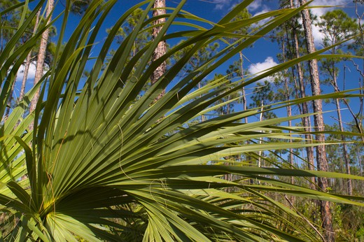 Stock Photo: 4286-55373 EVERGLADES NATIONAL PARK, FLORIDA, USA - Plants in the Slash Pine micro-climate, subtropical pine forest, in the Everglades in South Florida. This is the most endangered pine tree community in North America.
