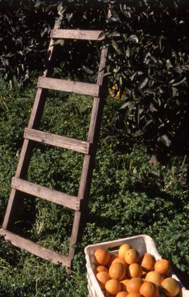 Stock Photo: 4286-57203 Greece. Crete. Freshly picked Oranges