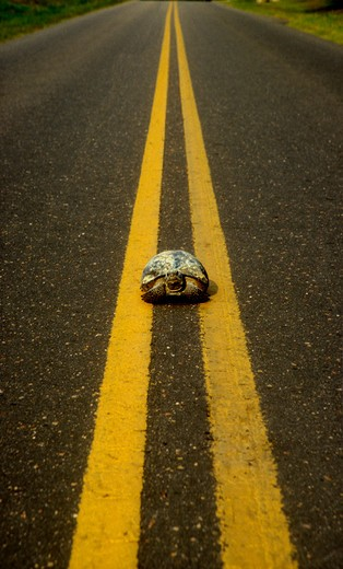 A tortoise walking down the middle of the yellow lines on a road.  : Stock Photo