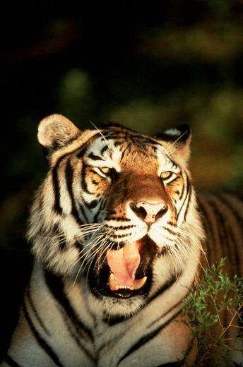 Stock Photo: 4286-57370 Tiger