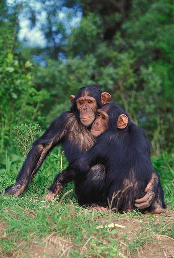 Stock Photo: 4286-57412 Chimpanzees