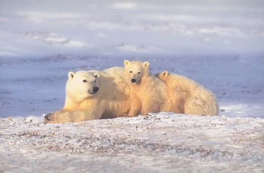 Mother Polar Bear (ursus maritimus) and two cubs in the snow. One cub is sitting up with the other cub snuggled down behind it. : Stock Photo