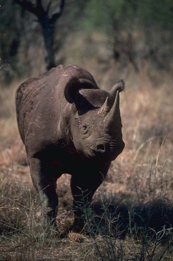 Stock Photo: 4286-57429 Portrait of a Black Rhino (diceros bicornis) in Kenya with a bird on its face and another bird on its neck.
