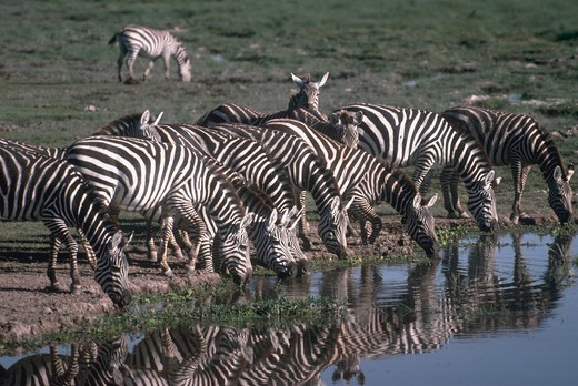 Stock Photo: 4286-57450 Several Burchell?s Zebras (equus burchelli) and Grant?s Zebras standing and drinking at a water hole.