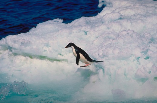 An Adelie penguin leaping from an iceberg headed toward the cold water. : Stock Photo