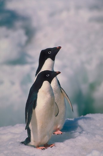Stock Photo: 4286-57494 A pair of Adelie penguins standing next to each other in the icy, snow.