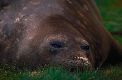 Stock Photo: 4286-57519 Head shot of a  southern elephant seal resting in the grass ready to sleep, Mirounga leonina.