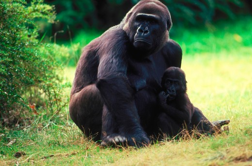 Stock Photo: 4286-57557 A western lowland gorilla mother sitting in the grass with her baby in her lap, Gorilla gorilla gorilla.