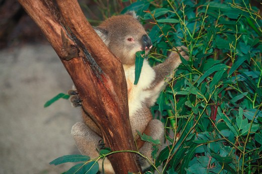 A koala sitting in a tree eating eucalyptus leaves, Phascolarctos cinereus. : Stock Photo