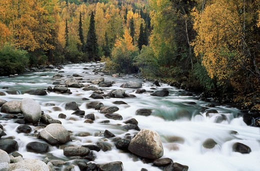 Water flows over rocks in a river bed with fall foliage surrounding the river, Little Sustina River, AK. : Stock Photo