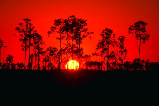 Stock Photo: 4286-57906 Silhoutte of trees at sunset in the endangered Pineland Forest, Everglades National Park, Florida.