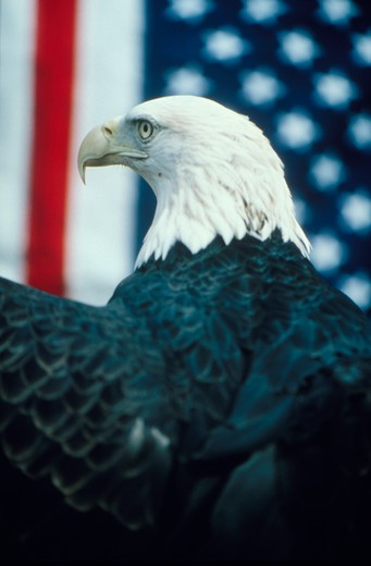 Portrait of a bald eagle in a rear profile in front of an American flag. : Stock Photo