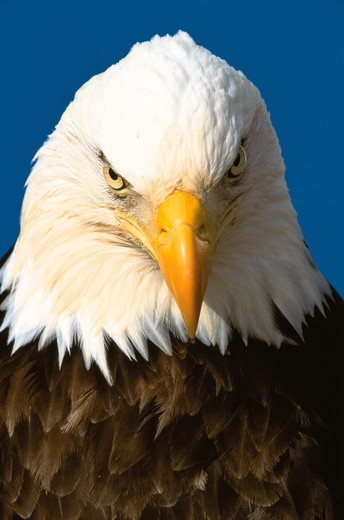 Stock Photo: 4286-58504 Close-up of the head of an adult bald eagle (Hailiaeetus leucocephalus) looking straight ahead.
