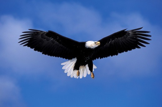 An adult bald eagle (Hailiaeetus leucocephalus) flies through the air. : Stock Photo