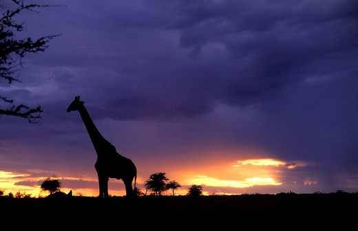 Stock Photo: 4286-58718 Colorful sunset late afternoon image of safari in Kenya Africa with wild giraffe roaming the jungle