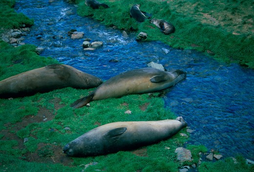 Stock Photo: 4286-60936 Elephant seals on green pasture in Grytviken, South Georgia