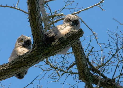Stock Photo: 4286-61216 Great horned owl chicks on Vancouver Island, British Columbia, Canada