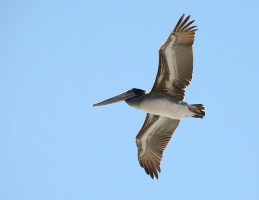Stock Photo: 4286-61333 Pelican in flight