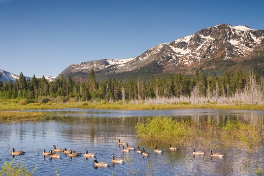 Stock Photo: 4286-72678 A flock of Canadian geese swimming in a pond in front of Mount Tallac near Lake Tahoe in California