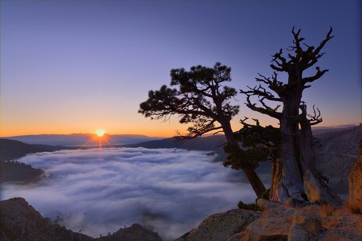 A dramatic old tree above a sea of clouds at sunrise on Donner Summit in California : Stock Photo