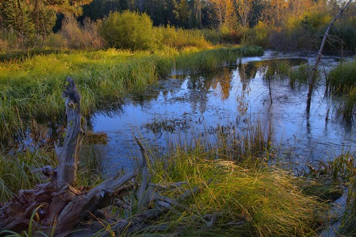 A beaver pond surrounded by sedge grasses near Truckee California : Stock Photo