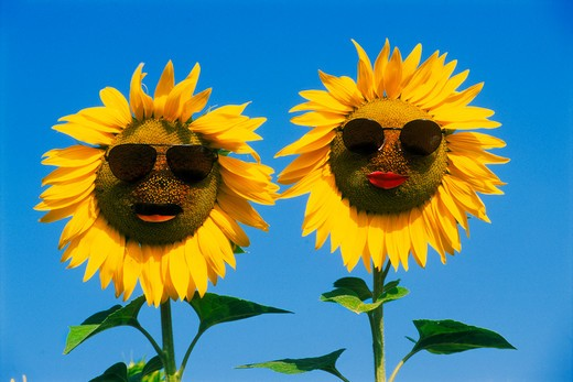 Stock Photo: 4286-75548 Couple of sunflower faces wearing sunglasses on sunny holiday in Provence, France