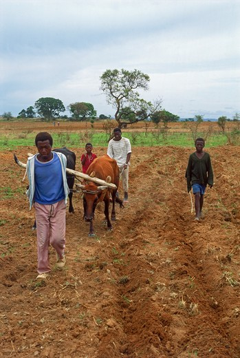 Africans with oxen plowing farmlands in Zimbabwe : Stock Photo