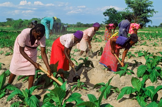 Stock Photo: 4286-76985 African men and women hoeing amid rows of tobacco plants on plantation in Zimbabwe