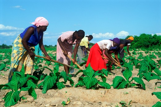 African men and women hoeing amid rows of tobacco plants on plantation in Zimbabwe : Stock Photo