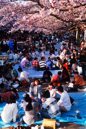 Stock Photo: 4286-77131 Party and celebration, drinking and eating under cheery blossom trees during annual Sakura festivals throughout Japan in April