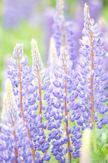 Stock Photo: 4286-77356 Purple lupin, Prince Edward Island, Canada