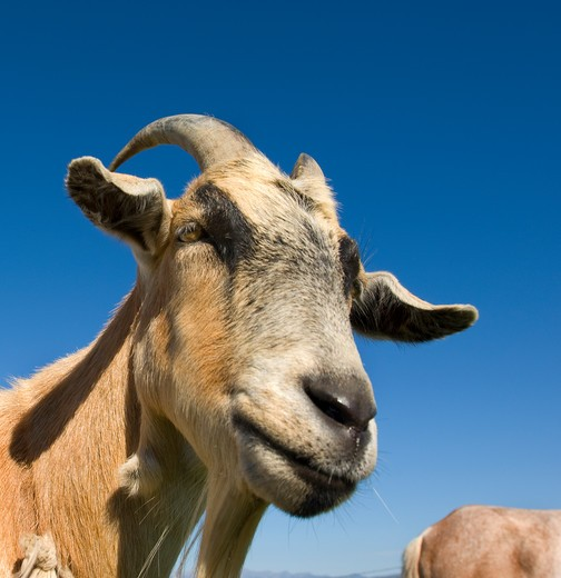 Billy Goat in rural pasture : Stock Photo