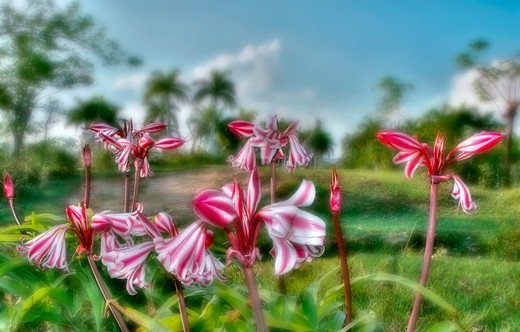 Cuba. Pinar del R¡o. Tararacos, red wildflower bulb. Out of focus meadow with palm trees in background : Stock Photo