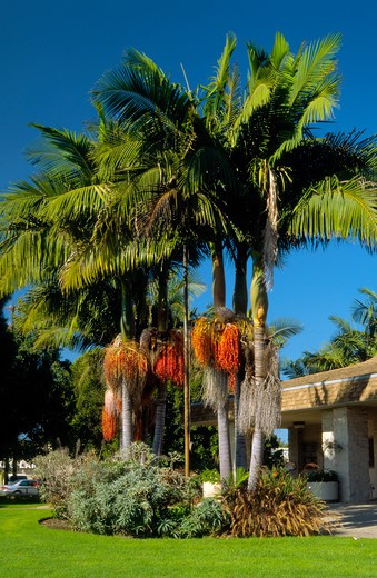 Magnificent group of King Palm Trees near the library in Westchester, Los Angeles, California : Stock Photo