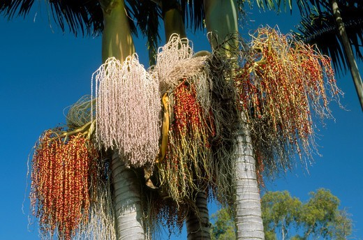 Close-up of the flowers and fruits of the King Palm tree in various stages of development : Stock Photo